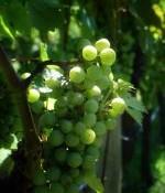 golf-en-wijn-druiven