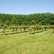 Vineyard plants