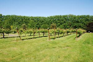 Vineyard plants